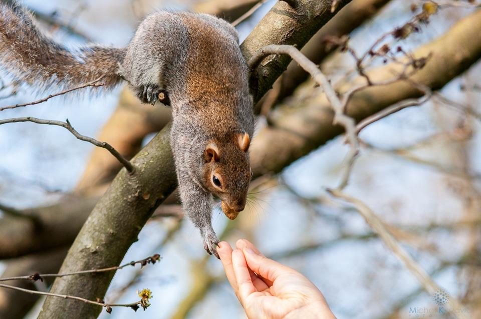 Wiewiórka biorąca orzeszka z ręki